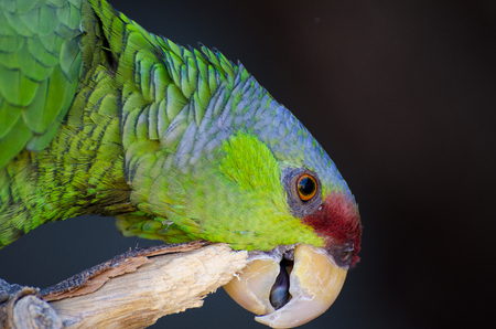 Lilac-crowned Amazon Parrot Imagens