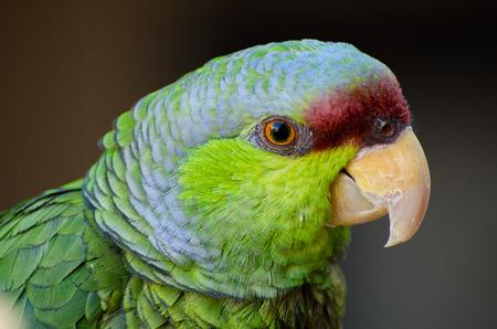 라일락 - 선정 아마존 앵무새 초상화