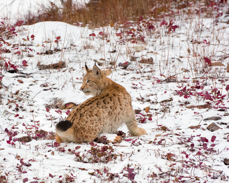 Siberian Lynx Cub Kitten in the Snow 1 Foto de archivo