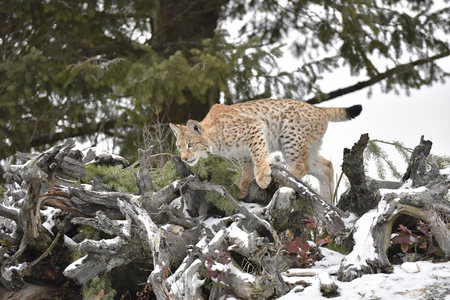 Siberian Lynx Cub Kitten in the Snow