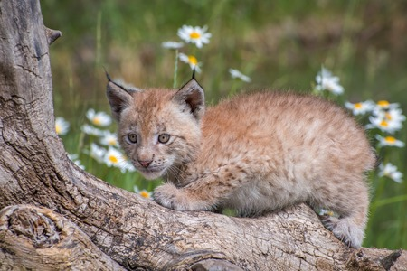 Siberian Lynx Kitten Perched on a Log and Surrounded by Daisies