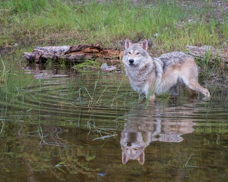 Tundra Wolf in Water with a Beautiful Reflection and Expanding Circular Ripples