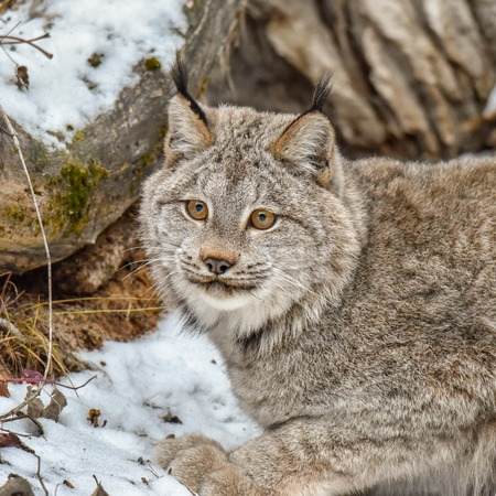 Canada Lynx Crouched in the Snow, Extreme Closeup Foto de archivo