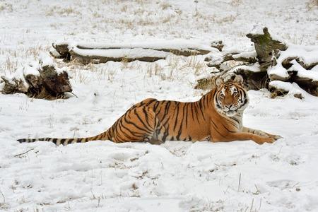 Tigre de Amur acostado en la nieve.