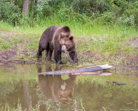 Grizzly Bear walking along River with Reflection