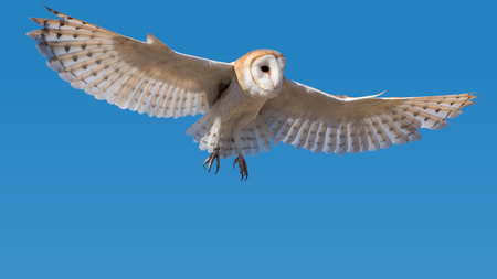 Barn Owl in Flight in a Clear Blue Sky