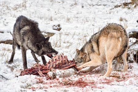Tundra Wolves Feeding on and Elk Carcass in the Snow 免版税图像