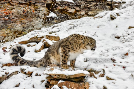 Snarling Snow Leopard perched on a Ledge in the Snow