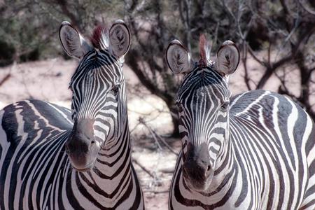 Zebra Duo on Alert Stock Photo