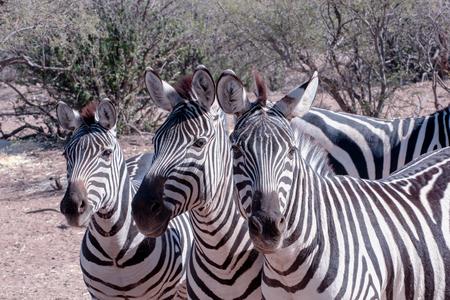 Zebra Trio in the Brush