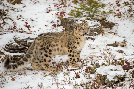 Snow Leopard Cub Standing in the Snow 版權商用圖片