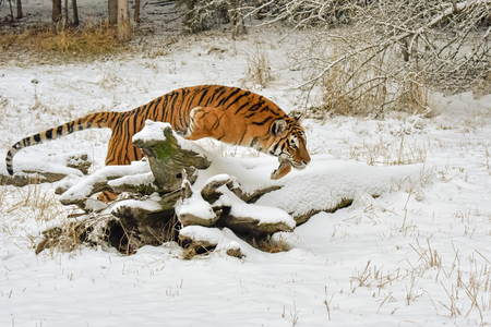 Tiger Jumping over a Snow Covered Log in Winter