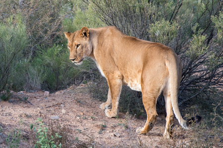 Lioness walking through the Brush, Glancing over Shoulder