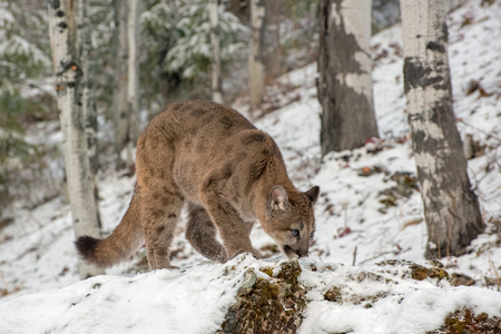 Mountain Lion Cub Crouched down in the Snow, Looking Up