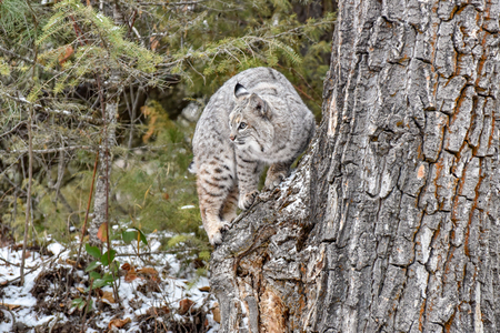 Bobcat Climbing on Tree in the Forest in Winter Imagens
