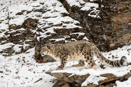 Snow Leopard Perched on a Ledge in the Snow