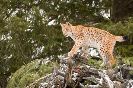 Young Siberian Lynx Clambering across a Fallen Evergreen