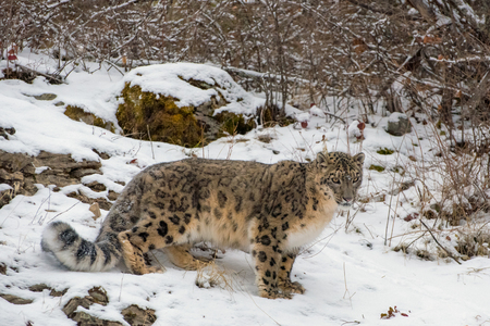 Snow-encrusted Snow Leopard Prowling through the Brush Stock Photo