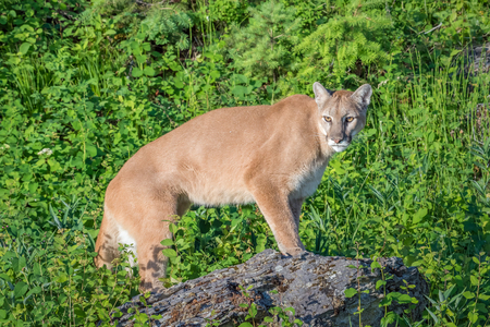 Mountain Lion Standing on a Rock with a Bright Green Backdrop Stock Photo