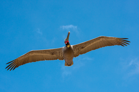 Brown Pelican in Flight with a Bright Blue Sky and a Cloud as Background Stock Photo