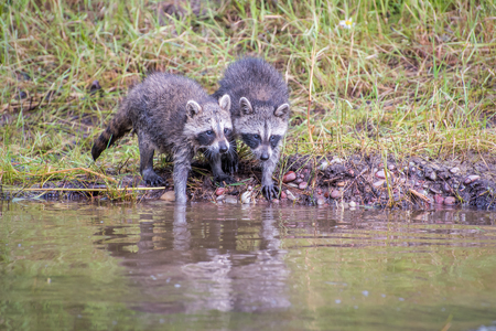 Two Baby Raccoons Reaching Out into the Water