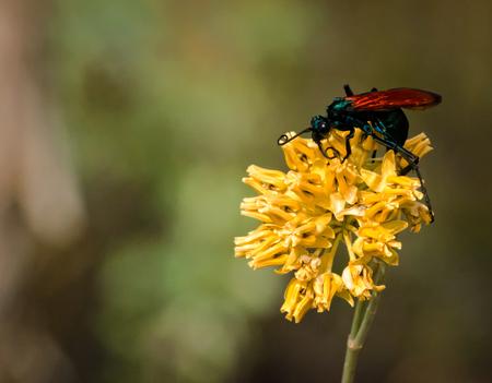 Tarantula Hawk Perched on a Bright Yellow Flower