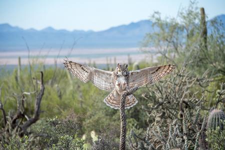 Flying Great Horned Owl with Open Wings, Landing in the Desert Southwest 版權商用圖片