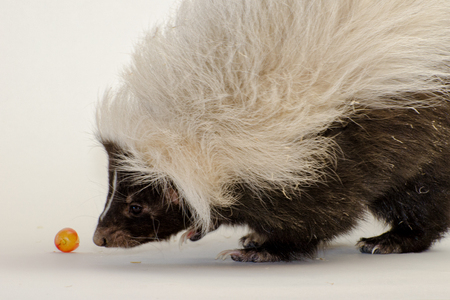 Striped Skunk Isolated on a White Background