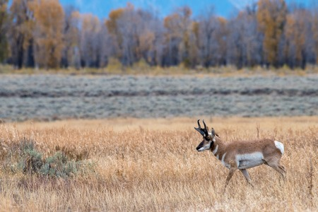 Pronghorn in a Golden Meadow in Autumn