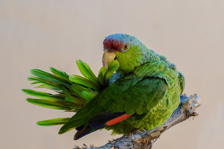 Lilac-crowned Amazon Parrot Grooming and Pulling her Tail Feathers Stock Photo