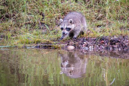 Baby Raccon reacting to his Reflection in the Water at the Edge of a Pond