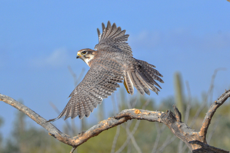 Prairie Falcon in Flight in the Arizona Desert 免版税图像