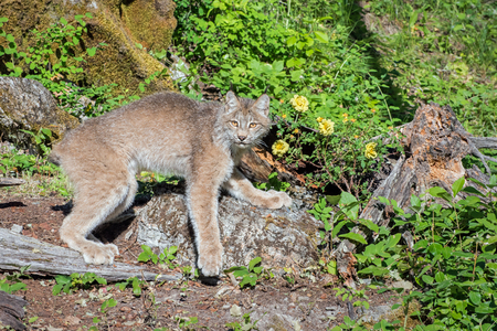 Canada Lynx in a Boulder-Strewn Hillside with Wild Roses in the Background