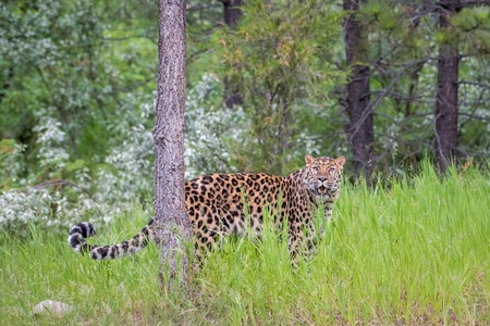 Endangered Amur Leopard Prowling through Long Grass