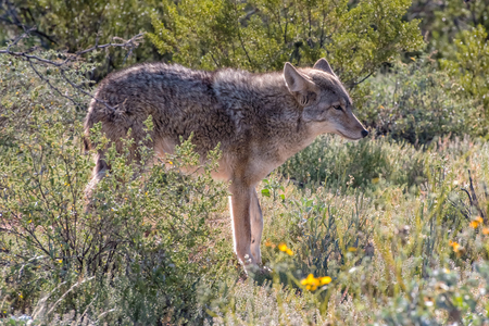 Arizona Coyote walking through the Desert in the Spring