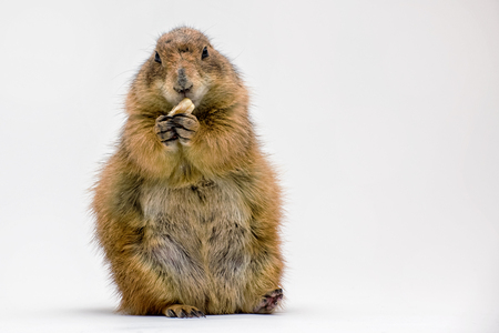 Black-tailed Prairie Dog sitting up Isolated on a White Background
