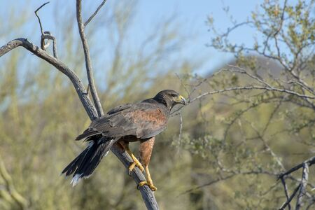 Juvenile Harriss Hawk Perched in a Tree in Arizona
