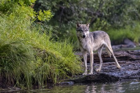 Grey Wolf poised on the Rocky Bank of a Flowing River
