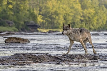 Grey Wolf walking across Rocks in a Flowing River 写真素材