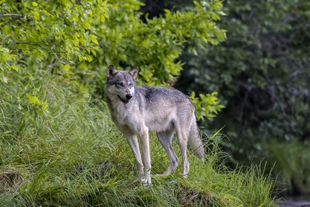 Grey Wolf poised on a Grassy Bank
