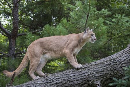 Mountain Lion ascending a Leaning Tree Stock Photo