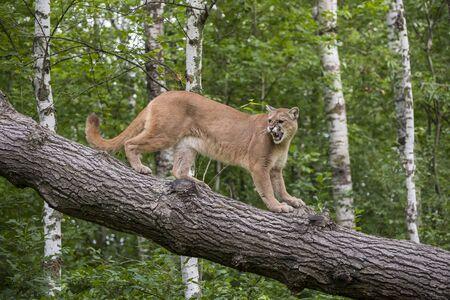 Leone di montagna ringhiante che scende da un albero pendente Archivio Fotografico