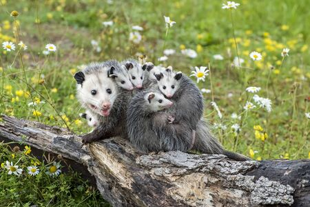 Opossum or Possum Mother with Joeys riding on her Back Imagens