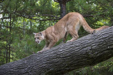 Leone di montagna accovacciato in discesa da un albero pendente