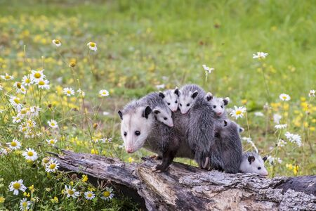 Opossum or Possum Mother with Joeys riding on her Back Stock Photo