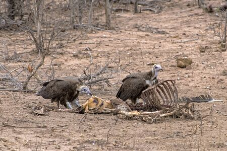 Hooded Vultures on an Impala Kill in South Africa