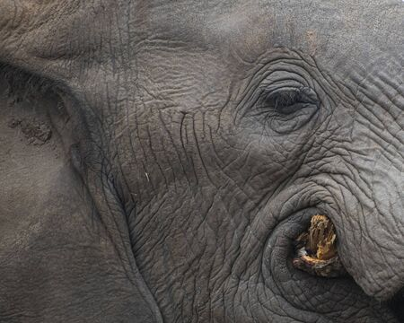 Portrait of an Elephants Eye and Face while Chewing a Tree in South Africa Stock Photo