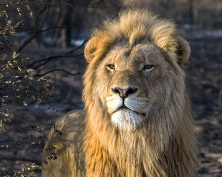 Young Male Lion in the Golden Morning Light in South Africa
