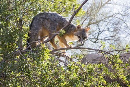 Grey Fox in the Upper Branches of a Tree