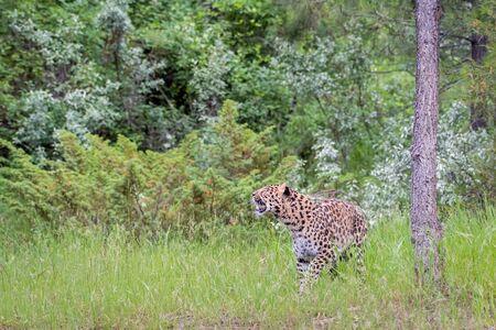Endangered Amur Leopard Prowling through Long Grass